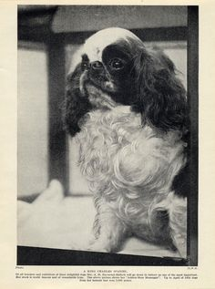 English TOY King Charles Spaniel Named DOG OLD Original 1934 DOG Print | eBay