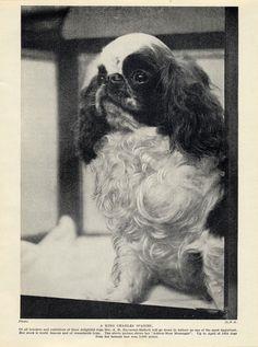 English TOY King Charles Spaniel Named DOG OLD Original 1934 DOG Print | eBay
