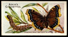 """Adkin's Cigarettes """"Butterflies & Moths"""" (series of 50 issued in Camberwell Beauty Butterfly Flight Patterns, Garden Angels, Collector Cards, Junk Art, Vintage Butterfly, New York Public Library, Antique Books, Natural History, Vintage Postcards"""
