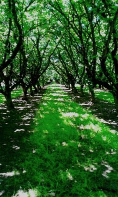 Filbert (Hazelnut) Orchard