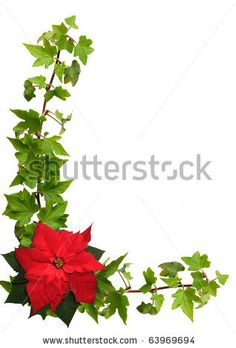 poinsettia illustration - Google Search