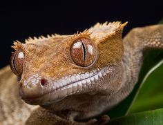 New Caledonian Crested Gecko by Rafe Abrook, via Flickr