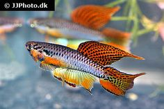 Killifish : Grand Valley Aquarium Club