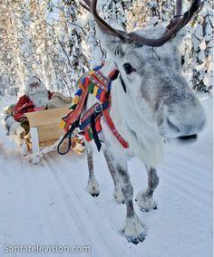 reindeer in lapland. it's so cute!