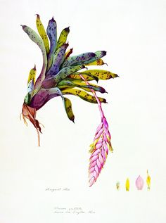 Margaret Mee, An illustration of Vriesea guttata, a species of bromeliad native to Brazil, 1969. Smithsonian National Museum of Natural History
