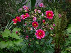 Two Tone Dahlia From Seed