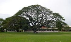 exodus panyard trinidad | This photo is taken fromnear the trunk of the tree, looking ...