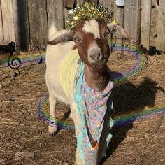 Пишу про жизнь в деревне, от своего имени Cute Goats, Animals, Animales, Animaux, Animal, Animais