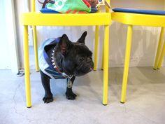 Mr.Bunta, French Bulldog ❤
