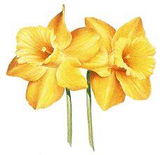 Adams birth flower - daffodil