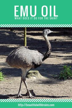 Emu Oil is derived from the fat of the emu bird, which contains several unsaturated fatty acids. Naturally present in the skin, these fatty acids help mantain and repair the outermost layer of the skin. Very moisturizing, emu oil is also said to do pretty much anything, from reducing wrinkles to treating acne. But, can it really do so much? Click through to find out.