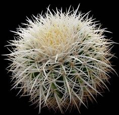 Echinocactus Grusonii (White Spined Form).jpg (481×464)