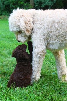 Willow Tree Goldendoodles - Home: Chocolate doodle kisses.