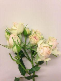Norsk navn: Greinrose Botanisk navn: Rosa 'Dinara'