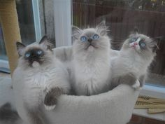 Sealpoint Mitted left, Bluepoint Mitted middle, and a Sealpoint High Mitted Bicolor right