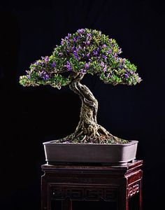 ~ Magnificent Bonsai ~ love that the flowers are proportionate to tree