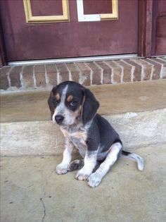 Sweet little Blue tick beagle pup