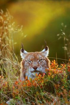 """0ce4n-g0d: """" Lynx on a meadow by Stanislav Duben """""""