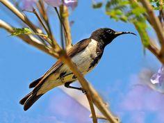 Black Honeyeater Sugomel nigrum - Google Search