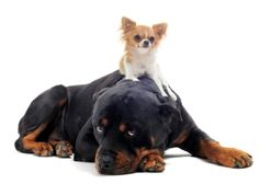 Dog Behavior | Can Big Dogs & Small Dogs Co-Exist in a Family? | Pets Best