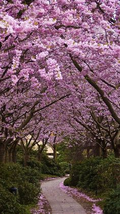 Japanese Cherry Blossom Path