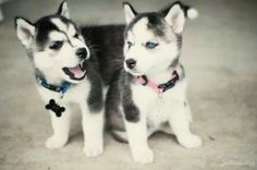 Puppy Huskies…obsessed! Brother and Sister, so cute! | cute animals | puppies | cute  dogs