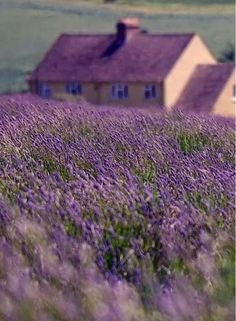 Purple flowers are a great way to add interest to your yard or landscape. Here are Different Types of Purple Flowers for Your Garden and Purple Flowers Meaning. Lavender Cottage, Lavender Blue, Lavender Fields, Lavender Flowers, Purple Flowers, Purple Home, Lavenders Blue Dilly Dilly, Beautiful Flowers, Beautiful Places