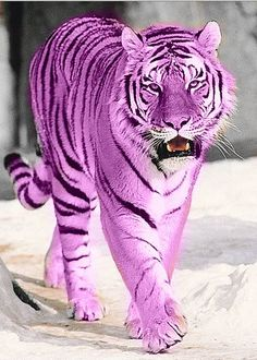 How faboo!  A purple tiger!  (Yes, shopped.)