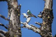 https://flic.kr/p/vBkh3a | Violet-green Swallow, Glacier National Park, Montana - photo by Jacob W. Frank (pinned by haw-creek.com)