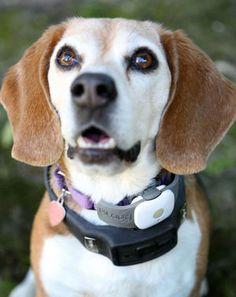 High tech pet Lucy from Pleasanton, California wears Tagg a a device for locating her and Voyce, a device for monitoring activity