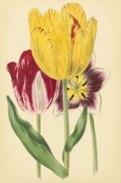 Array Of Tulips Giclee