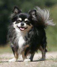 Pomeranian Chihuahua Mix, Chihuahua Love, Long Haired Chihuahua Puppies, Teacup Pomeranian, Beautiful Dogs, Animals Beautiful, Cute Animals, Baby Animals, Cute Puppies