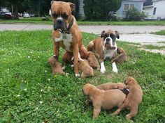 Enjoying an outing with family! Boxer Bulldog, Boxer Puppies, Boxer And Baby, Boxer Love, Large Dog Breeds, Chihuahua Love, Cute Creatures, Family Dogs, Dogs Of The World