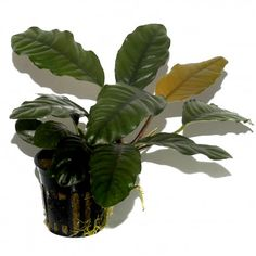 Anubias are perfect low tech plants for foreground,. midground and background with very little demand for light, or fertiliser.