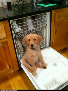 Golden Retriever Puppy Wants Attention ::: Visit our poster store Rover99.com