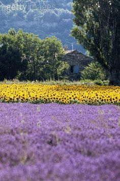 Fields of lavender and sunflowers near Aix en Provence.