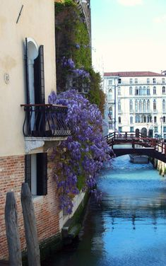 Glicine at Ca' Maria Adele, next to the Basilica della Salute, Venezia, Dorsoduro.
