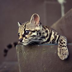 The Margay is on the endangered animals list, but no one really knows how large their population is.