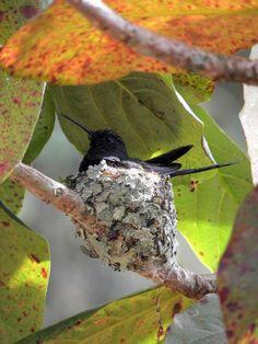 Foto beija-flor-tesoura (Eupetomena macroura) por Deusdete Pinho | Wiki Aves - A Enciclopédia das Aves do Brasil