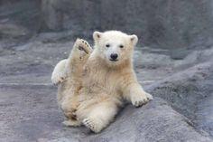 Cucciolo di orso polare e yoga