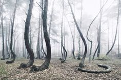 The Crooked Forest: A Mysterious Grove of 400 Oddly Bent Pine Trees in Poland