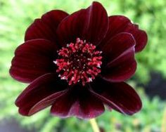 "Perennial ""Chocolate"" Cosmos  'Dark Secret'"