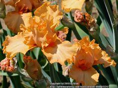 TB Iris germanica 'Firecoal' (Markham, 2012)
