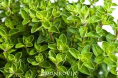 Oregano has many uses for health and cooking. However, do you know what the different oregano varieties are? These are the 3 main types of oregano: Oregano Plant, Monrovia Plants, Plant Catalogs, Natural Antibiotics, Herb Seeds, Plantar, Medicinal Plants, Herbal Medicine, Natural Healing