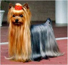 How much is a blue yorkie