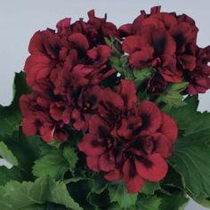 Geranium 'Regal Pelargonium Twilight'