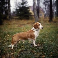 drever dog photo   Drever pictures   Animal Photography Stock Photos   Image Library of ...