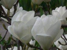 Magnolia pośrednia (Magnolia soulangeana) Lennei Alba zdjęcie 7