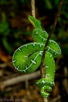 Corallus caninus (Emerald tree boa) by Fredrik Tegnér on Flickr~♛