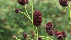 Weed, Dandelion, Herbs, Fruit, Health, Garden, Flowers, Plants, Garten
